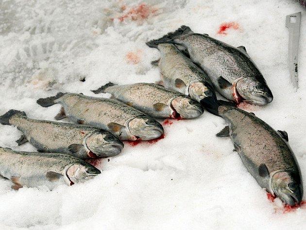 Chystají rybí hody. Ilustrační snímek.
