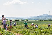 Samosběr jahod na jahodových plantážích na okraji Turnova, který začal v neděli 11. června, přilákal davy lidí.