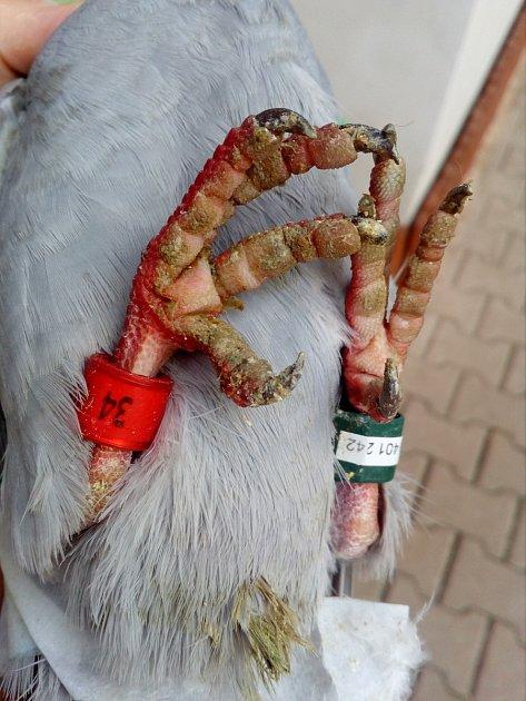 Zraněný poštovní holub zPolska je na doléčení vlučanském útulku Dášenka.