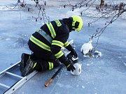 Kachny pižmové přimrzly na Jizeře do ledu