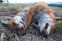 Lišky jsou nejpotencionáolnějšími nositeli vztekliny. Proto se provádí jejich každoroční vakcinace shozem návnad z letadel.