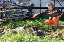 Dagmar Kubištová ukazuje na torza mrtvých telat.