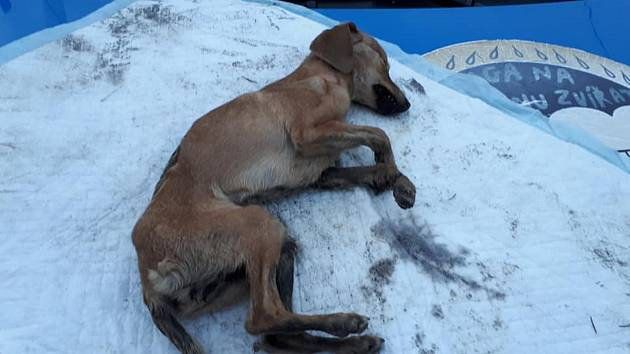 Neznámý pachatel odložil vyhublé štěně vedle polní cesty, našla jej studentka, ani péče veterináře už neodvrátila její konec. Jde o podezření na trestný čin týrání zvířete.