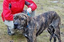 Dagmar Kubištová z útulku Dášenka v sobotu přijala silně podvyživenou fenu asi brazilské fily. Její současná váha je 25 kilogramů. U těchto psů je normálních 65 kilo.