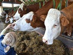 BĚŽNĚ SE DO KRAVÍNA v Příchovicích nechodí, ale když přijedou děti do okolních chalup na školu v přírodě, rádi jim tu ukáží, odkud se mléko vlastně bere. Za pár týdnů už bude stohlavé stádo krav na okolních pastvinách. Sofinka si je i pohladila.