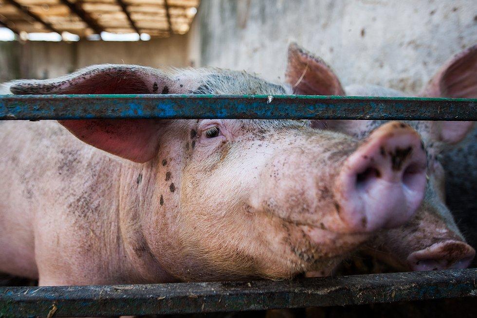 Kozí farma Josefa Pulíčka v Pěnčíně u Jablonce nad Nisou, na které chovají zhruba 1000 koz a 600 ovcí, je největší farmou v republice. Na farmě najdete i prasata, lamy, osla a další zvířata. Snímek je z 19. července.