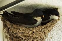 Pár jiřiček odpočívající v nedostavěném hnízdě.