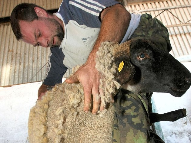 Na Kozí farmě v Pěnčíně na Jablonecku předváděli kování koní, pasení a stříhání ovcí, také proběhla aukce beranů. Stříhání ovcí plemene Suffolk.