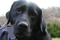 Ilustrační snímek černého labradora.