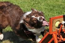 V soutěži se představí Border kolie Pan Jim z pořádajícího družstva DogDragons. Brousí si zuby na vítězství.