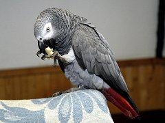 Papoušek Žako. Ilustrační snímek.