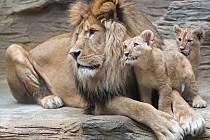 Terry a Basty ještě coby lvíčata v olomoucké ZOO