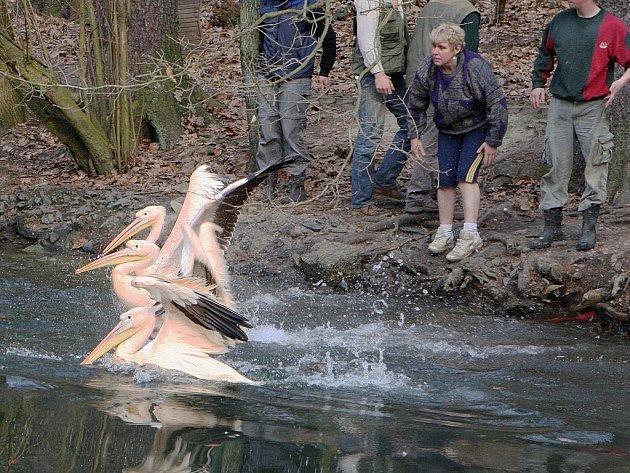 Liberecká ZOO v pondělí vypustila  pět párů pelikánů na rybníček, kteří v tomto přírodním prostředí zůstanou přes celé léto.