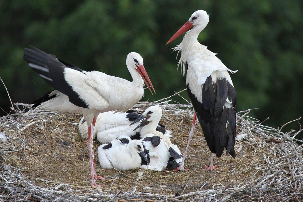 Čapí rodiče na hnízdě s mláďaty.