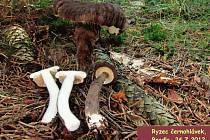 Ryzec černohlávek patří určitě zcela neoprávněně k přehlíženým houbařským klenotům Jizerských hor.