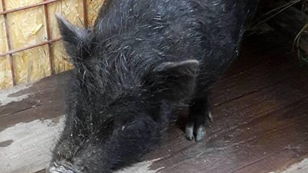 Odchycené prase Dáša našlo azyl v psím kotci v útulku Dášenka v Lučanech.