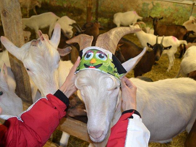 Na Kozí farmě v Pěnčíně nejsou k vidění jen kozy a ovce. Najdete tu také lamu, brzo budou ve výběhu i vepříci. A pozornosti by neměli ujít ani pastevečtí psi. Štěbetání se ozývá od drůbeže a i tady budou za pár týdnů běhat mláďata.