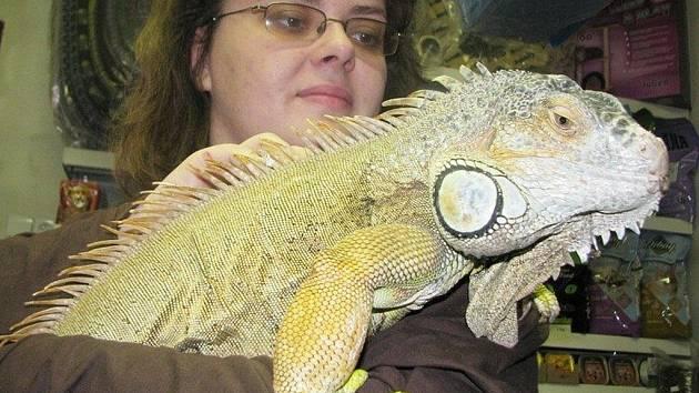Leguán zelený dorostl do jednoho a půl metru. Na snímku s majitelkou Marií Terezievovou.