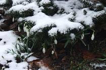 Sněženky ve sněhu