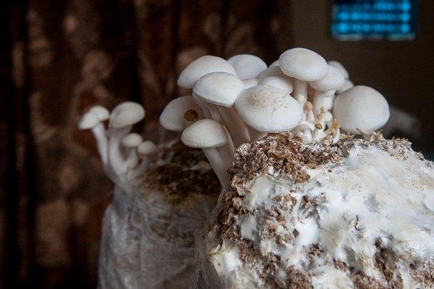 Mykolog František Brabenec ze Smržovky pěstuje houby shimeji.