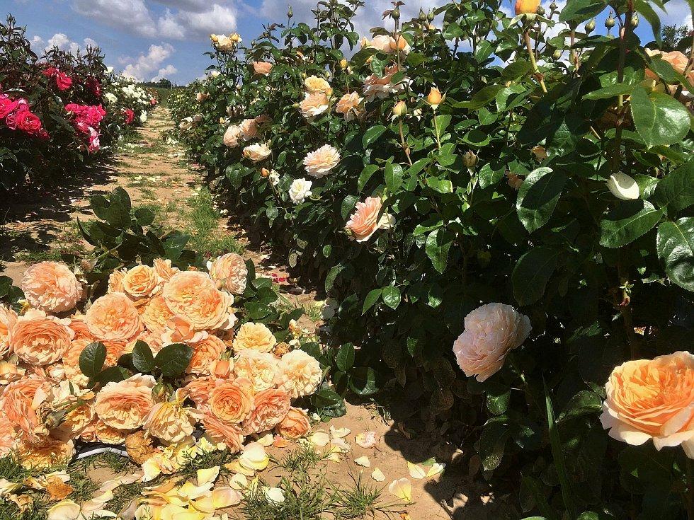 Růže Pelcovi.