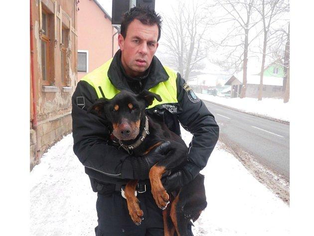 Podvyživená fenka dobrmana skončila vysílená v náručí jabloneckého strážníka Petra Stránského. Putovala do útulku Dášenka a k veterináři.