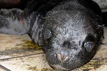 V liberecké ZOO se narodilo lachtaní mládě.