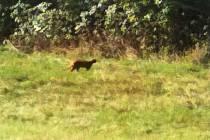 V lese na Prosečském hřebeni hledají velkou kočku.