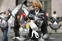 Populace holubů. Ilustrační snímek.