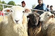 Na Kozí farmě chovají i ovce