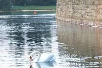 FOTO č. 2. Které vody brázdí půvabná labuť na snímku?