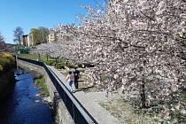 Růžové kvetoucí stromy okolo řeky Nisy.