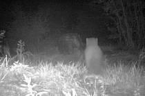 Myslivci vyfotografovali pomocí fotopasti velkou kočkovitou šelmu na okraji Jablonce.