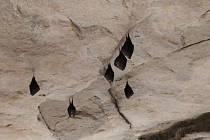 Na Valdštejně zimují netopýři.
