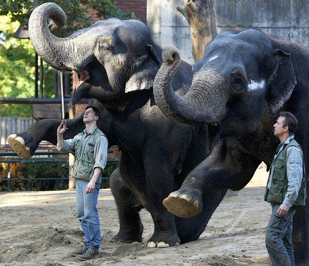 Chov slonů slaví v liberecké ZOO přesně na den 50 let. Indické bengálské slonice Rání a Gaudí jsou v ZOO od roku 1967. Rání je 45 a Gaudí 44 let. Jejich ošetřovatelé Aleš Doležal a Václav Aschenberger je cvičí, aby byly poslušné například při ošetření.