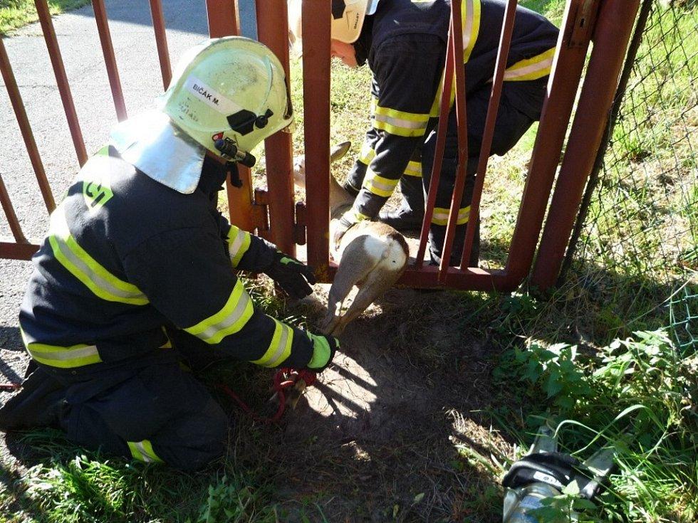 Srnka uvízla v plotě areálu Pivovaru Svijany.