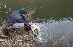 Maloskalští rybáři vysadili do Jizery  přesně 2230 kusů lipana podhorního o velikosti cirka 25 centimetrů.