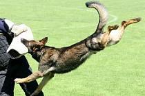 Policejní pes v akci. Ilustrační snímek.