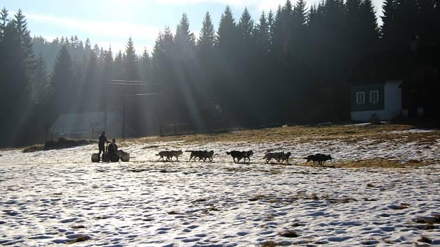 """Není sníh. Musherka Jana Lovette Henychová z Horního Maxova """"přezula"""" zpět na kolečka."""