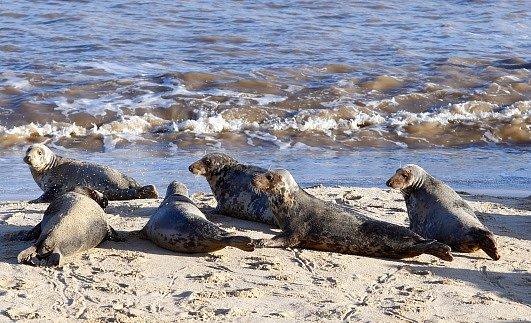 Tuleni používají klovu především čich a sluch.
