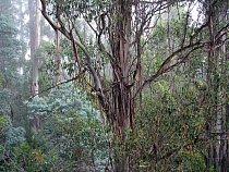 Mladá zelená kůra blahovičníků je důležitá pro fotosyntézu.