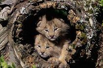 V dutinách stromů si hledají úkryt i rodiny rysů kanadských.