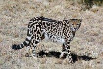 Gepardi královští mají místo malých černých teček kresbu tvořenou velkými, splývajícími skvrnami a pruhy. Není to jiný druh, ale jdeo barevnou odchylku.