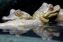 Mláďata aligátorů
