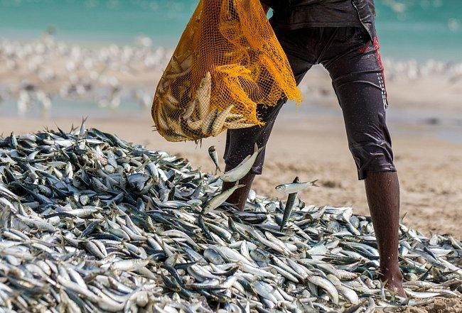 Obrovské množství sardinek na jeden záběr chytí rybáři v regionu Dafár, který se rozprostírá v jižní části Ománu.