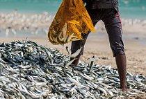 Tisíce sardinek v rybářských sítích
