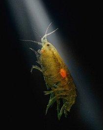 Maličký korýš různonožec žije vskrytu nadně jezer arybníků – pokud ho ovšem nenapadne larva vrtejše Pseudocorynosoma constrictum. Když larva dospěje, různonožec opustí svůj temný abezpečný domov apluje kesvětlu nahladině.