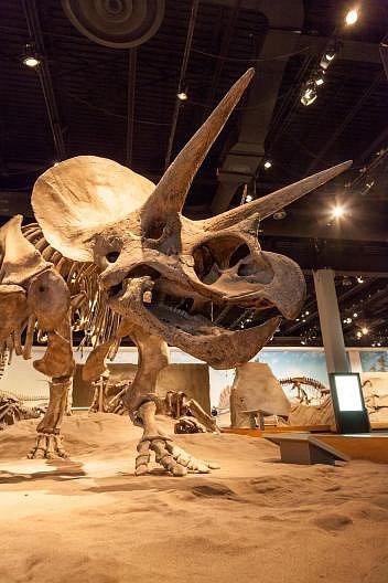 Odlitek kostry dinosaura druhu Triceratops horridus stojí vKrálovském Tyrrellově muzeu vkanadské provincii Alberta.