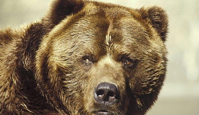 velký medvěd penis stříkance cougars