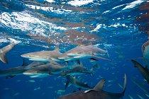 Žralok Perezův je ve svých vodách ještě docela rozšířen. Ale kdy se zařadí po bok žralokům liščím nebo krátkoplouotvým, kteří už jsou na seznamu IUCN?